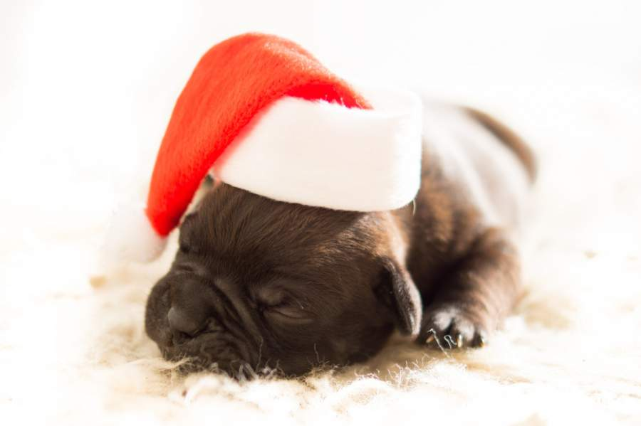 hund, weihnachten, weihnachtsrede, langeweile, weihnachtsfeier