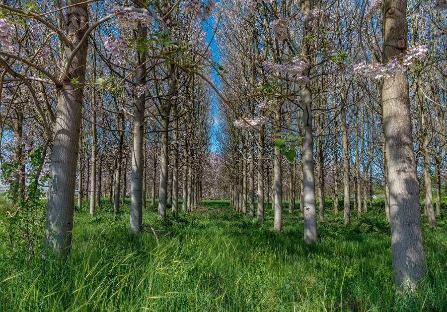 Blühende Paulownia-Bäume auf einer Baumplantage