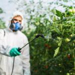 Mann in weißem Schutzanzug sprüht Pflanzschutzmittel auf Tomatenpflanzen, die in einem Treibhaus wachsen.