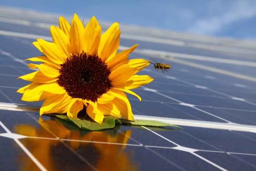 Sonnenblume mit Biene auf Solaranlage